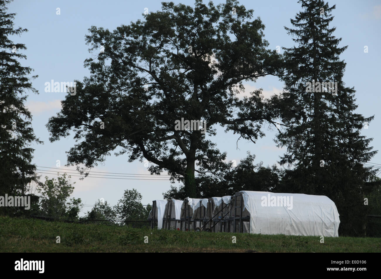 Farm chicken houses oak pine evergreen trees - Stock Image