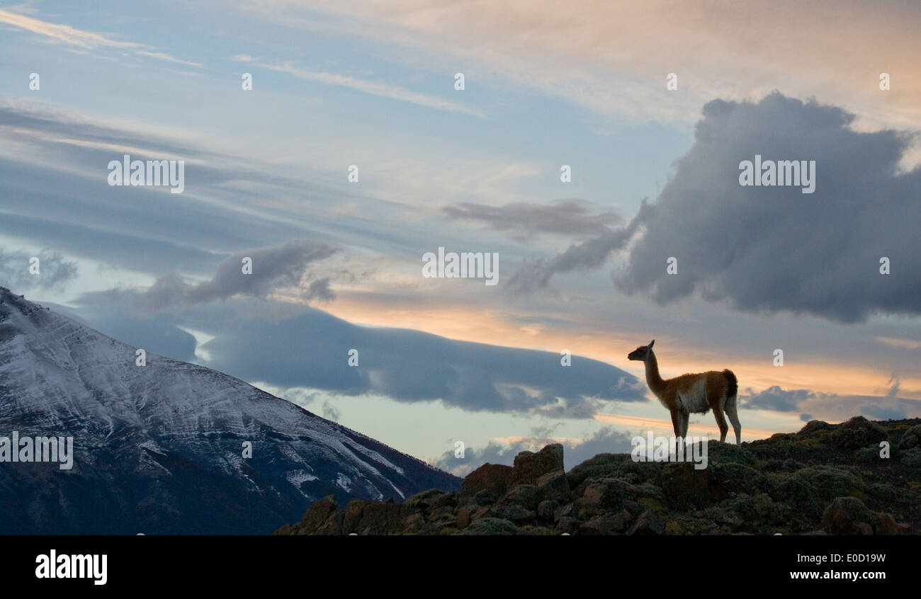 Guanaco at the sunset on the mountains of Torres del paine, Chile (Lama guanico) - Stock Image