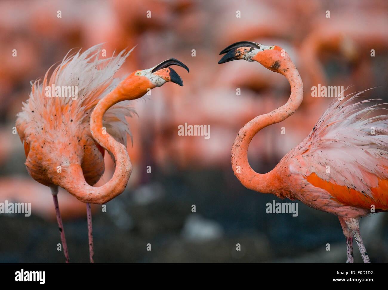 Carribean flamingos at nesting site, Rio Maximo Reserve, Cuba (Phoenicopterus ruber) - Stock Image