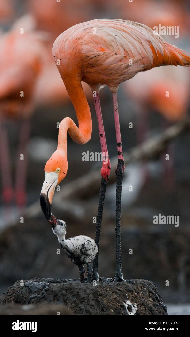 Carribean flamingo feeding a chick, Rio Maximo Reserve, Cuba (Phoenicopterus ruber) - Stock Image