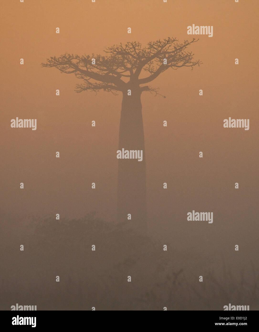 Madagascan baobab in the morning sunlight, Madagascar (Adansonia digitata) - Stock Image