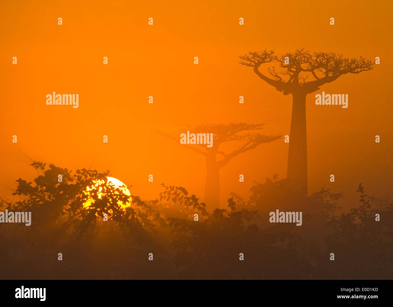 Madagascan baobab in the morning sunlight, Madagscar (Adansonia digitata) - Stock Image