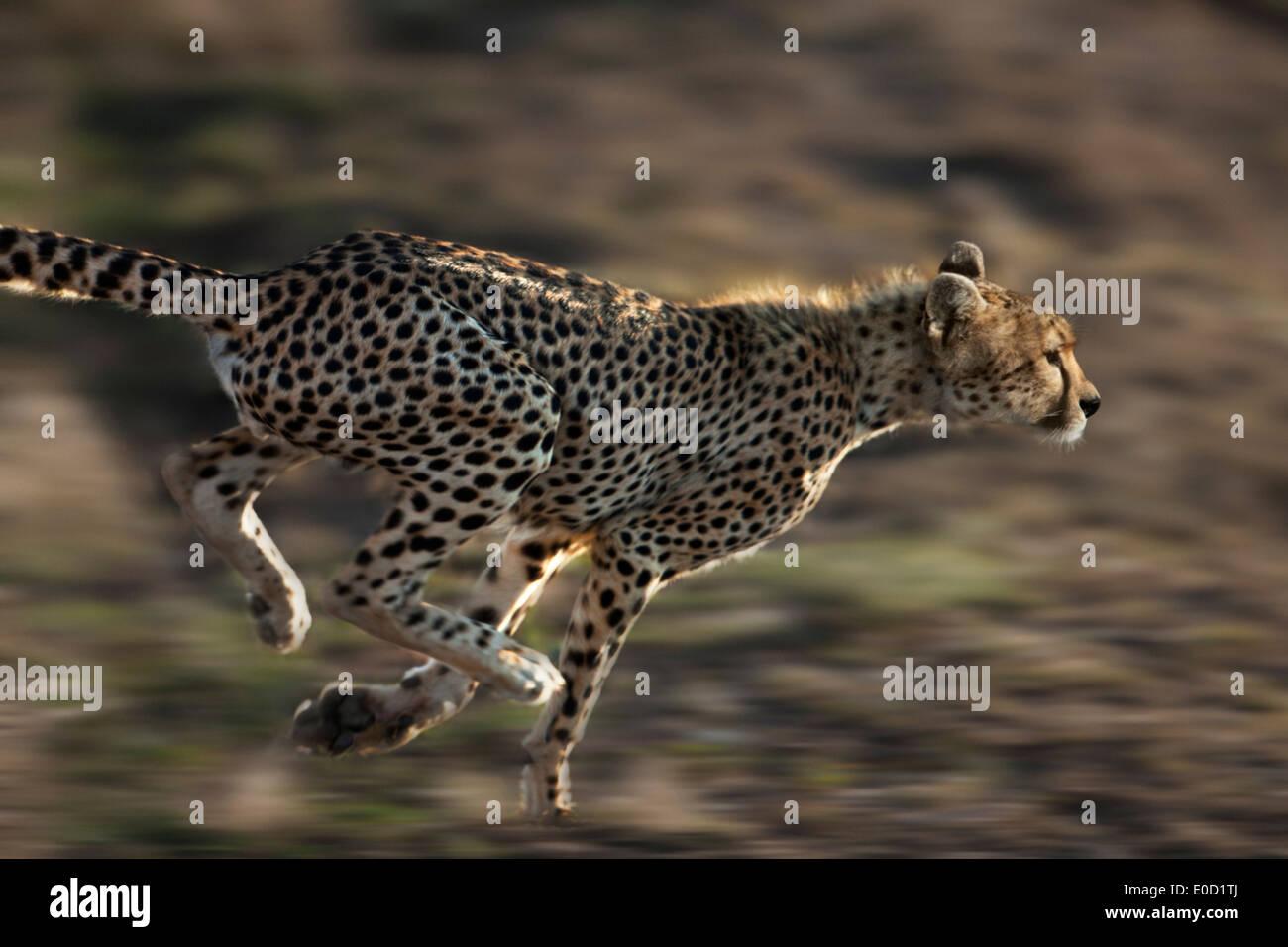 Running Cheetah, Serengeti, Tanzania (Acinonyx jubatus) - Stock Image