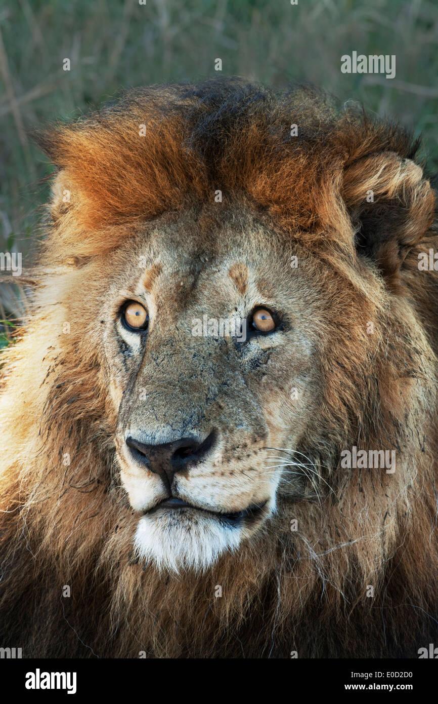 Male Lion, Serengeti, Tanzania (Panthera leo) Stock Photo