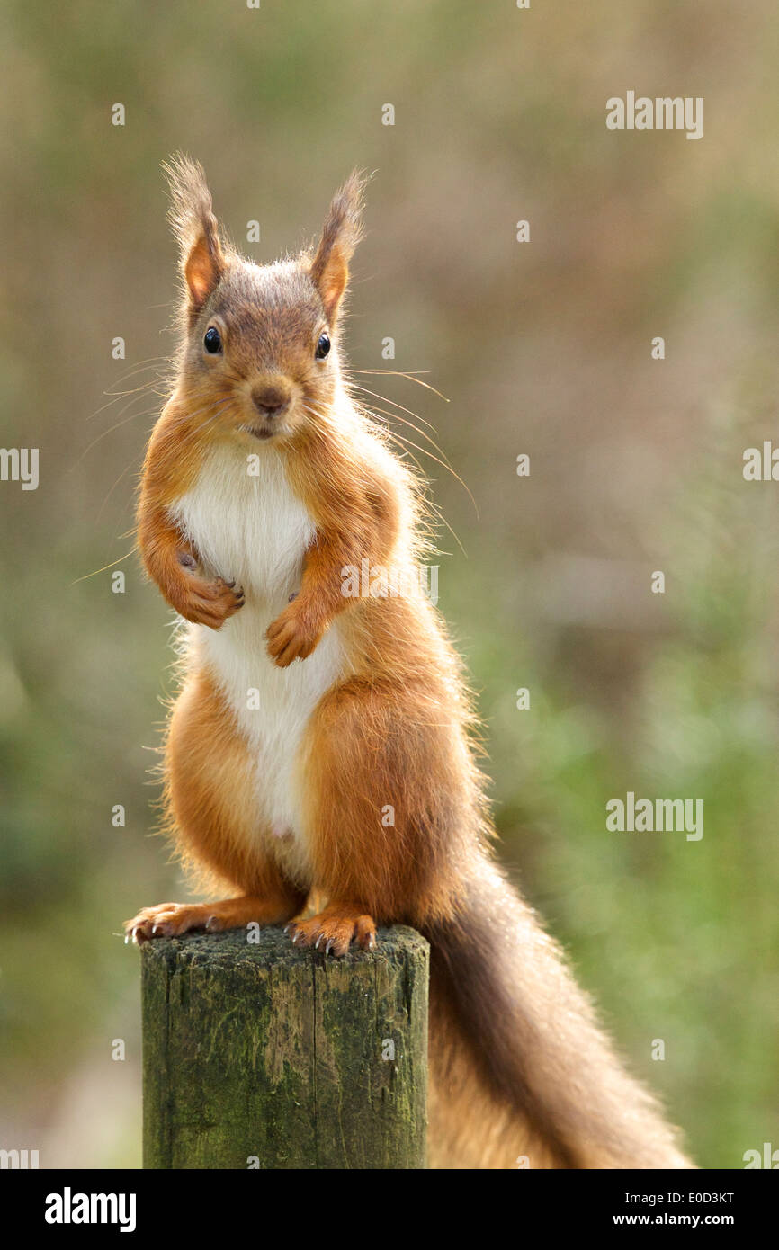 Red Squirrel takes up vantage point on top of old fence post #3495 - Stock Image