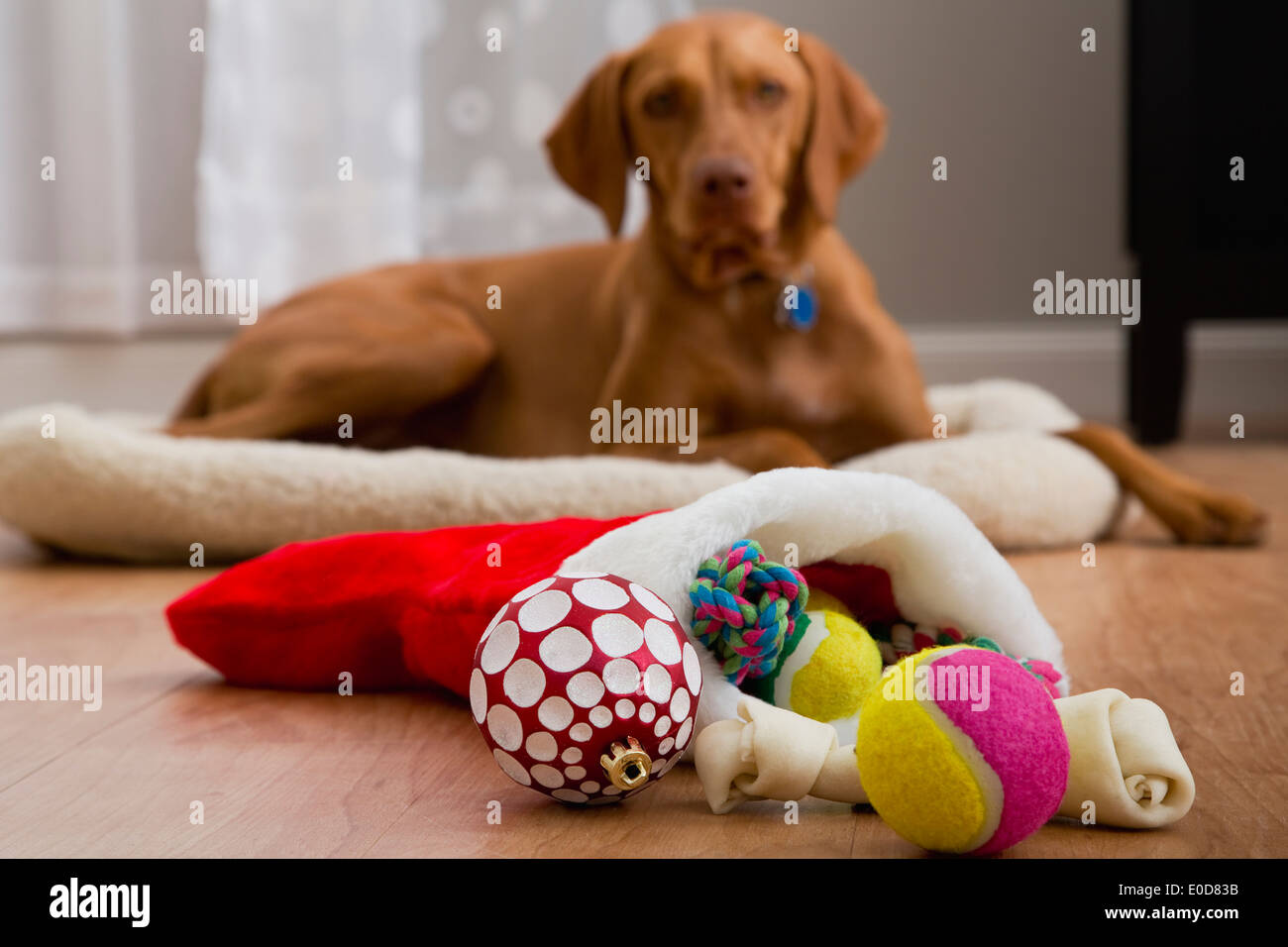 Portrait of dog with Christmas gifts Stock Photo