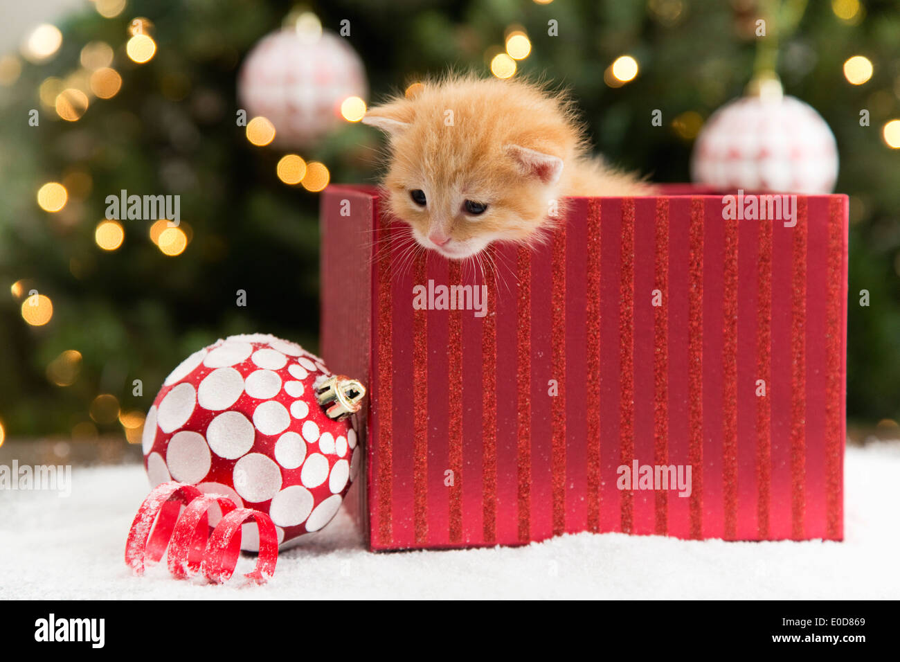 Kitten in red box at Christmas - Stock Image