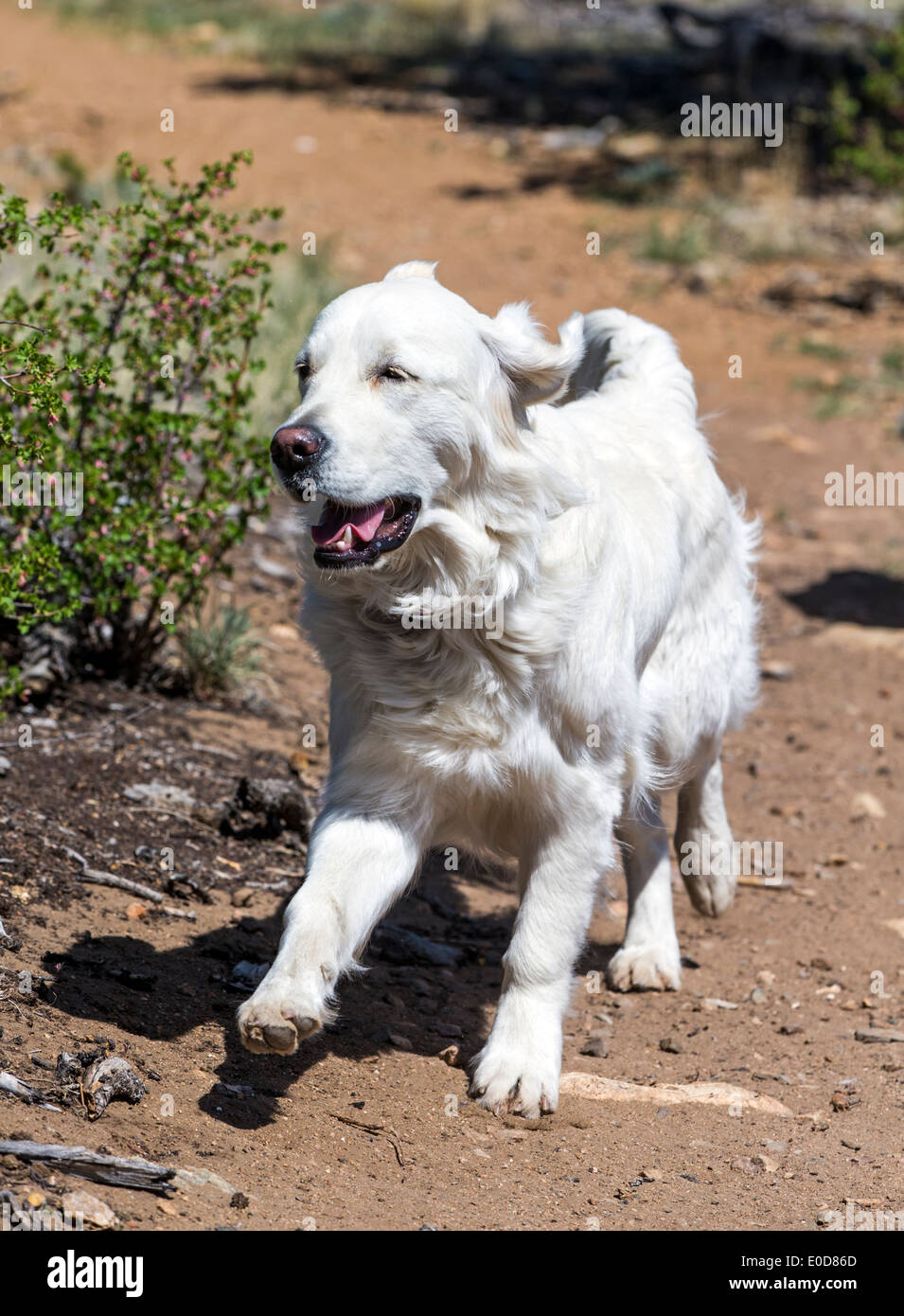 Platinum colored Golden Retriever dog running with a deer bone on a mountain trail - Stock Image