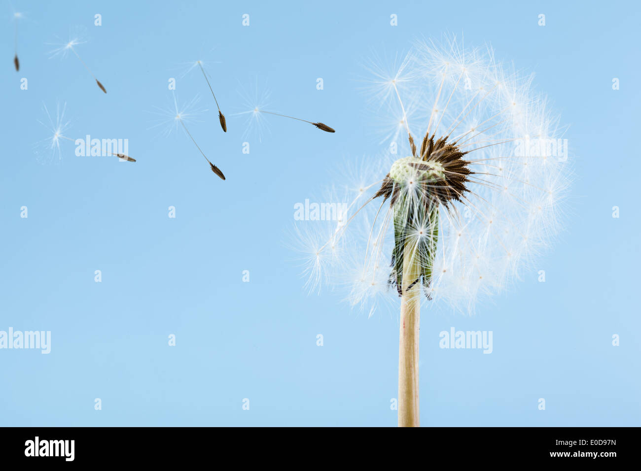 macro shot of a dandelion over a blue background with wind blowing seeds away - Stock Image