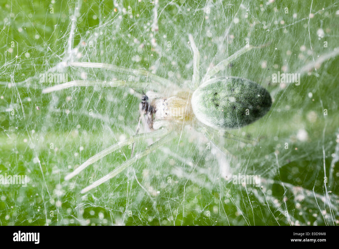 Nigma walckenaeri; a green cribellate spider up to five millimetres long, the largest of the family Dictynidae - Stock Image