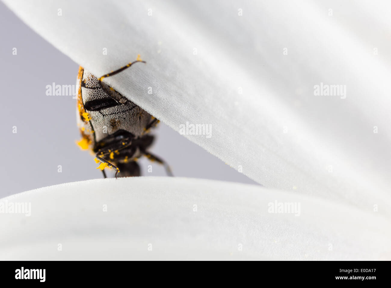 macro shot of a varied carpet beetle on a white daisy - Stock Image