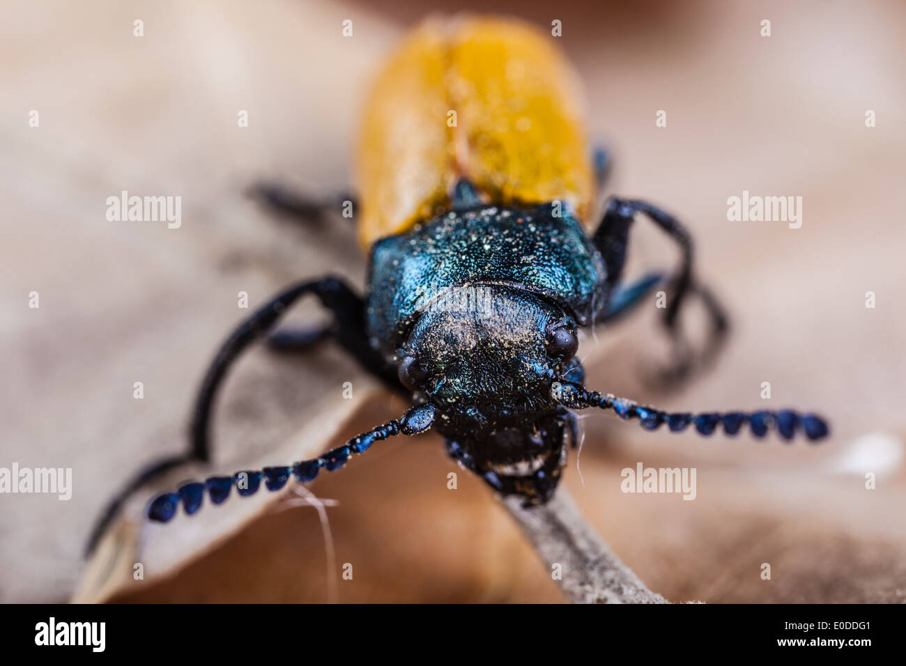 Macro shot of an Omophlus lepturoides, also known as comb-clawed beetle - Stock Image