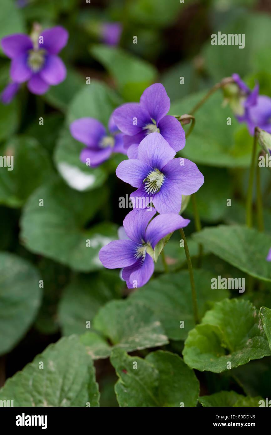 Viola flowers - Stock Image
