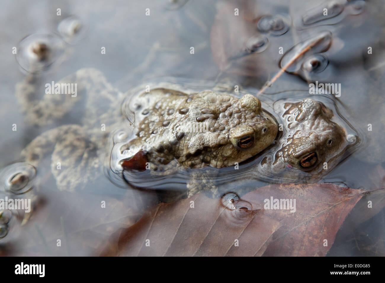 Zwei Erdkröten bei der Laichwanderung - Two common toads - Stock Image
