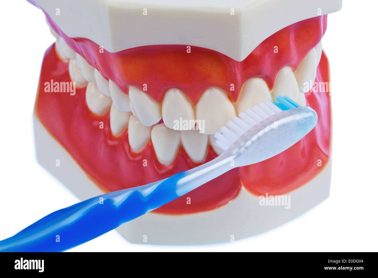 A dental model with toothbrush with the tooth clean. Dental cleaning prevents caries., Ein Zahnmodell mit Zahnbuerste beim Zaehn Stock Photo
