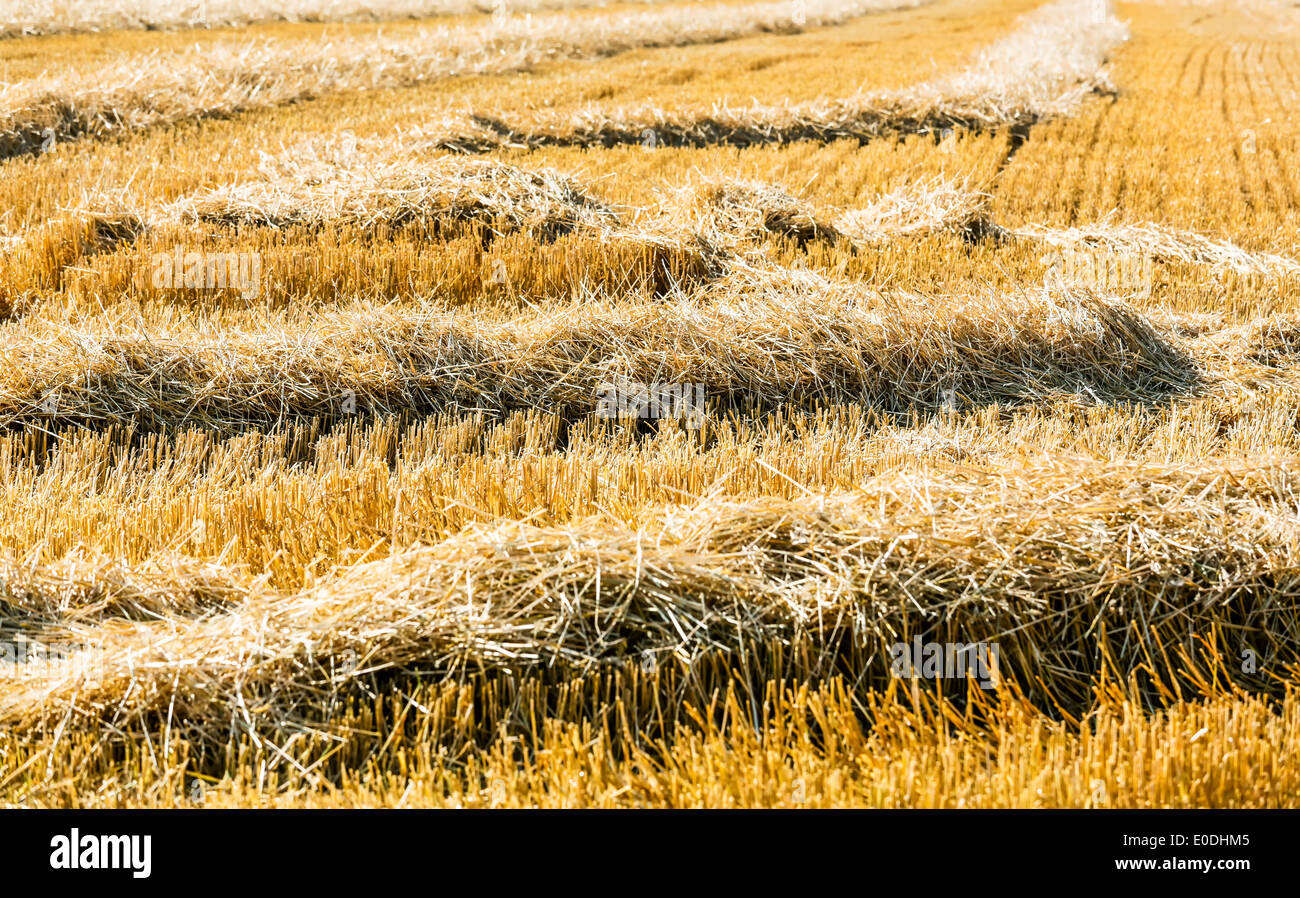 A grain-field with wheat shortly before the harvest, Ein Getreidefeld mit Weizen kurz vor der Ernte Stock Photo