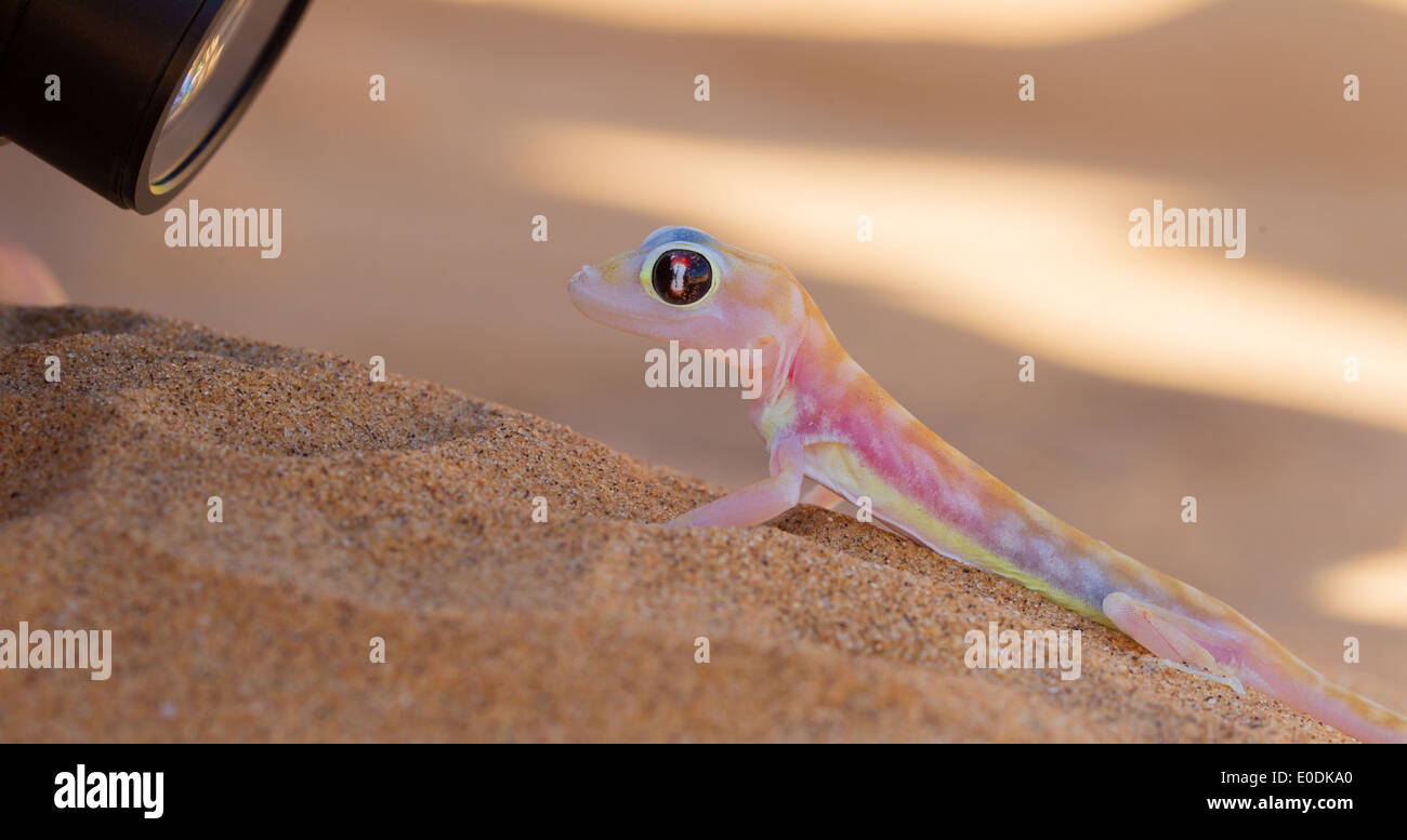 Palmatogecko (Pachydactylus rangei)  also known as Web-footed Gecko  being photographed Stock Photo