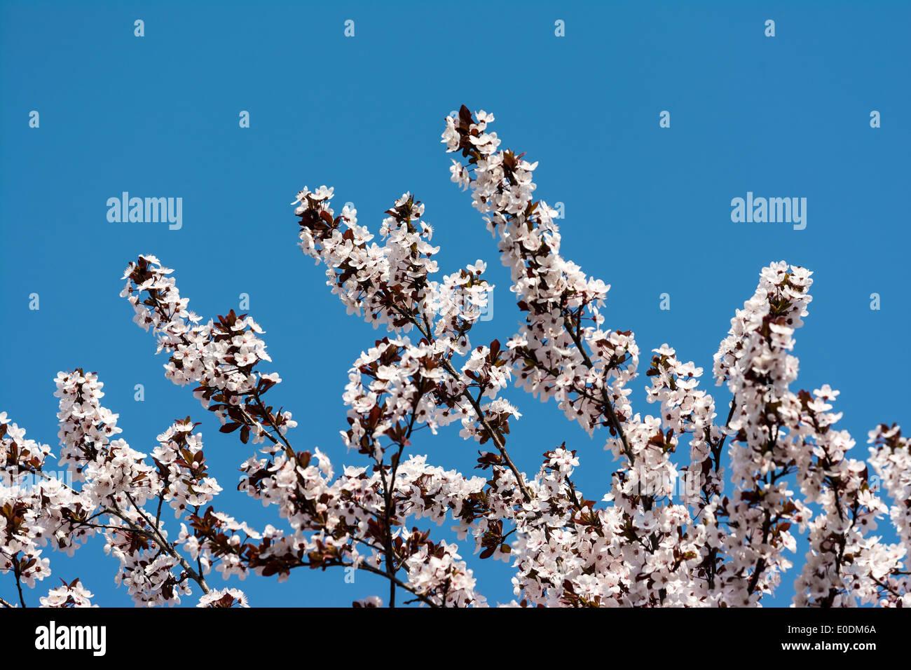 Plum Tree White Flowers Spring Blossom Stock Photo 69142706 Alamy