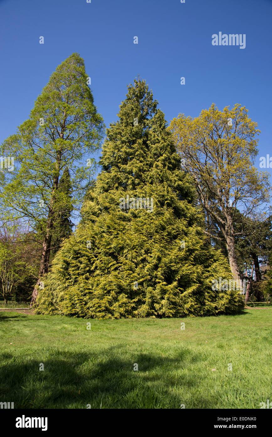 Conifer tree in a triangular shape - Stock Image