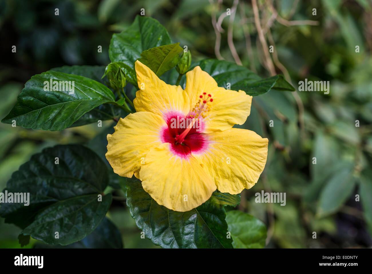 Hibiscus rosa sinensis or chinese hibiscus flower stock photo hibiscus rosa sinensis or chinese hibiscus flower izmirmasajfo