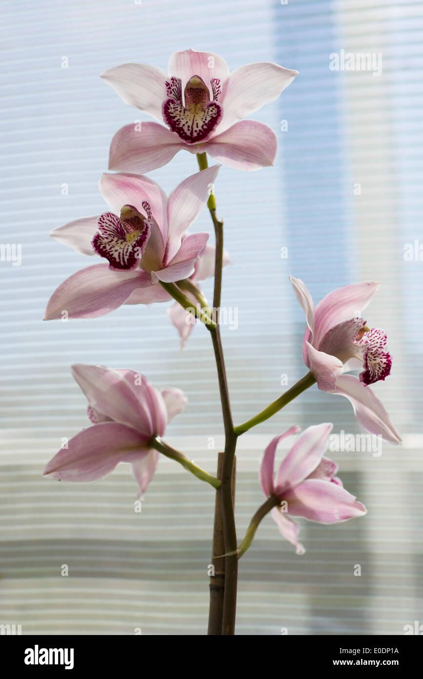 Orchid Cymbidium Loch Maree gx - Stock Image