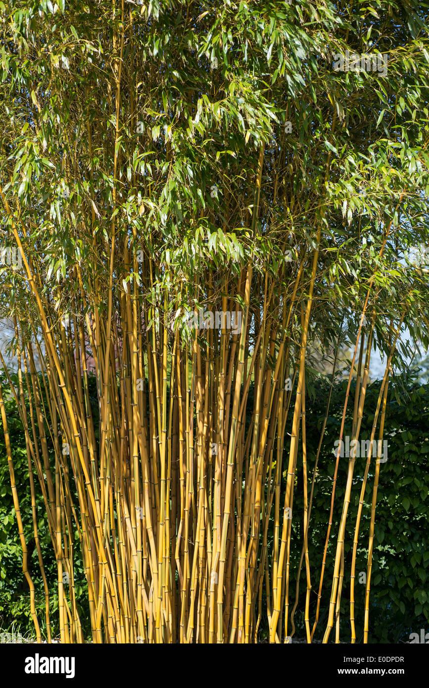 Bamboo, Phyllostachys aureosulcata f. spectabilis - Stock Image