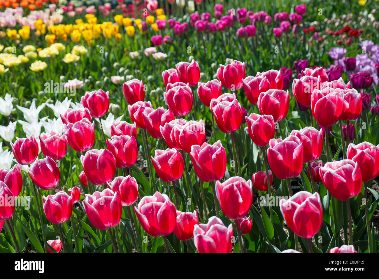 Display of various tulips at RHS Garden, Wisley, Surrey, England, UK - Stock Image