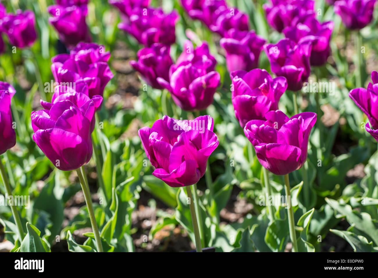 Tulip, Tulipa 'Passionale' - Stock Image
