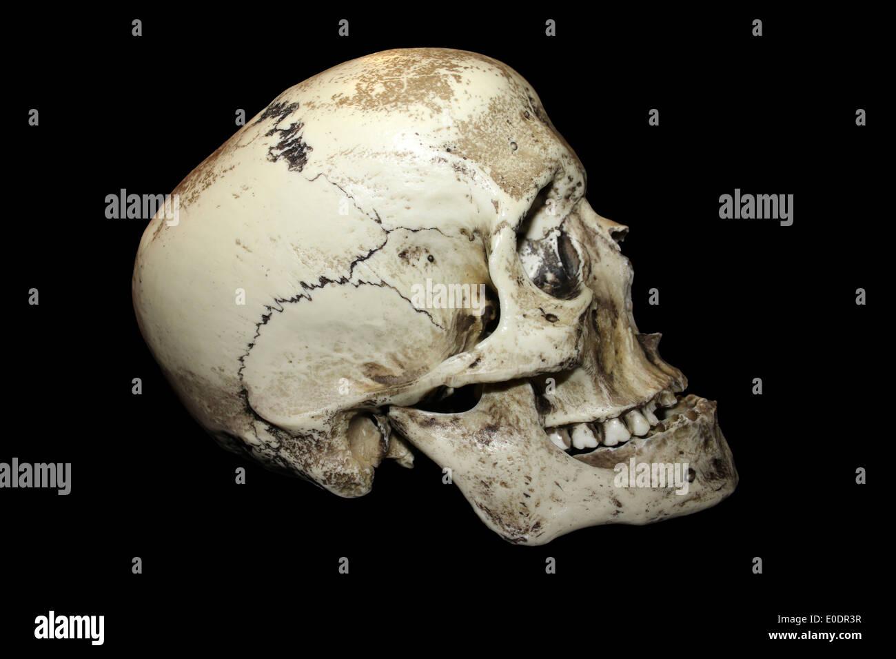 Roman Gladiator Human Skull Side View - Stock Image