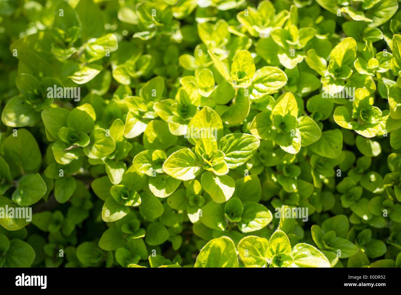 Golden Marjoram herb - Stock Image