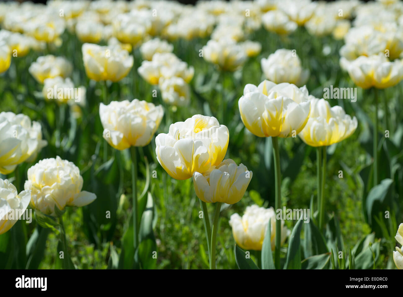 Tulip Tulipa 'Flaming Evita' - Stock Image