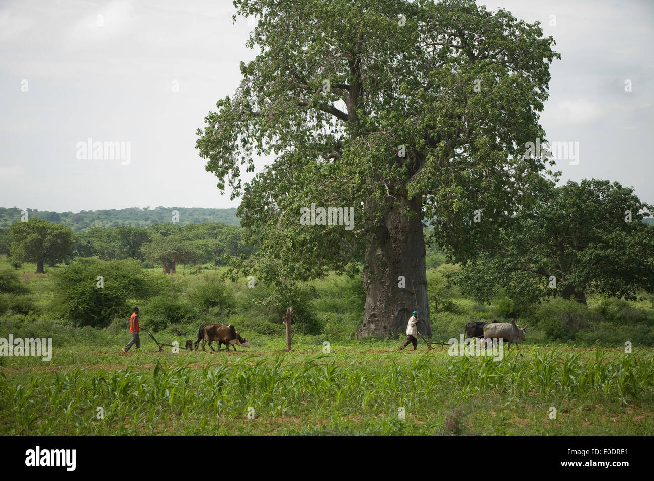 Baobab tree near Dodoma, Tanzania, East Africa. - Stock Image