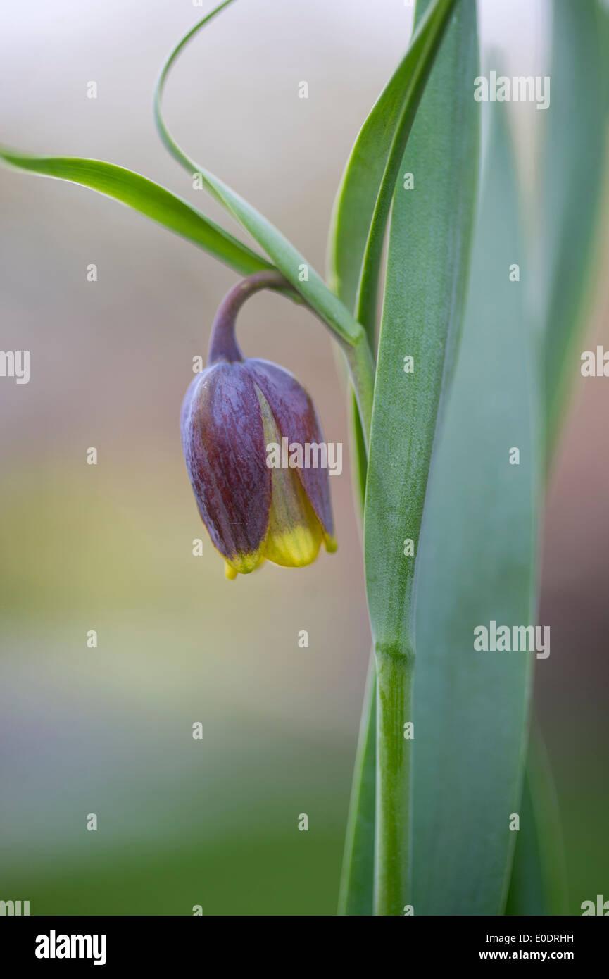 Fritillaria uva vulpis - Stock Image