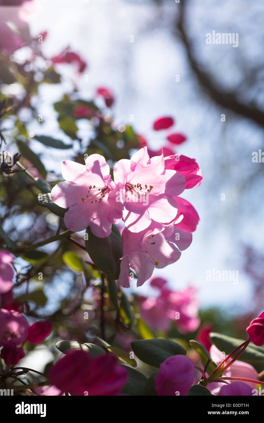Rhododendron Temple Belle group - Stock Image