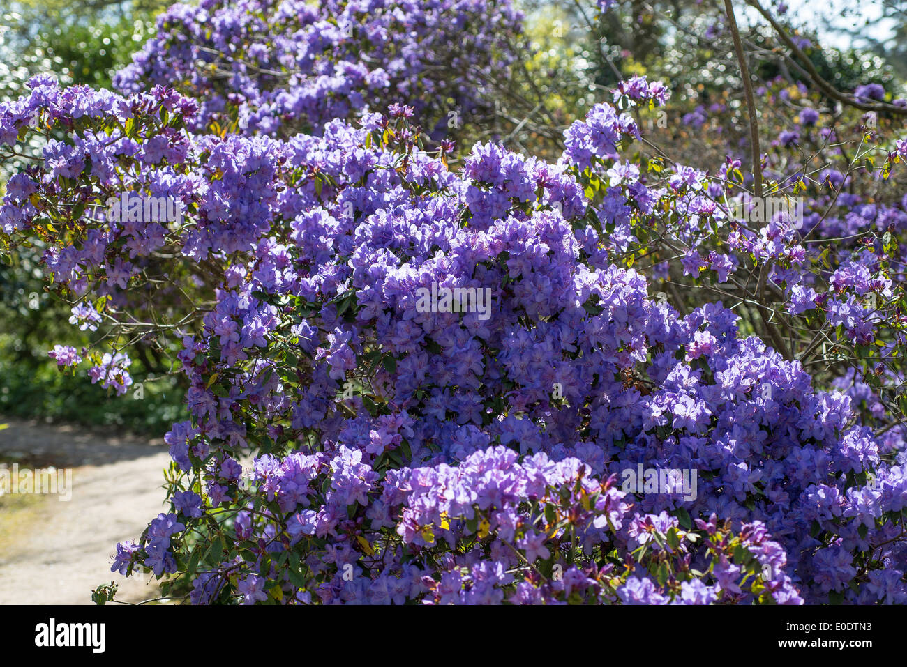 Rhododendron 'Saint Tudy' - Stock Image