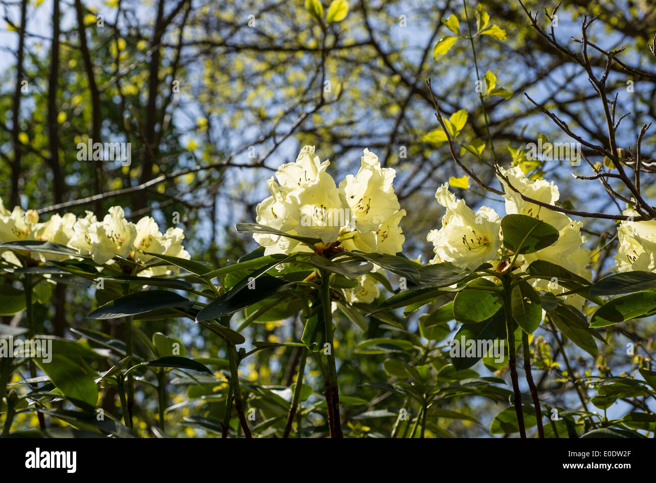 Rhododendron 'Beatrice Keir' - Stock Image