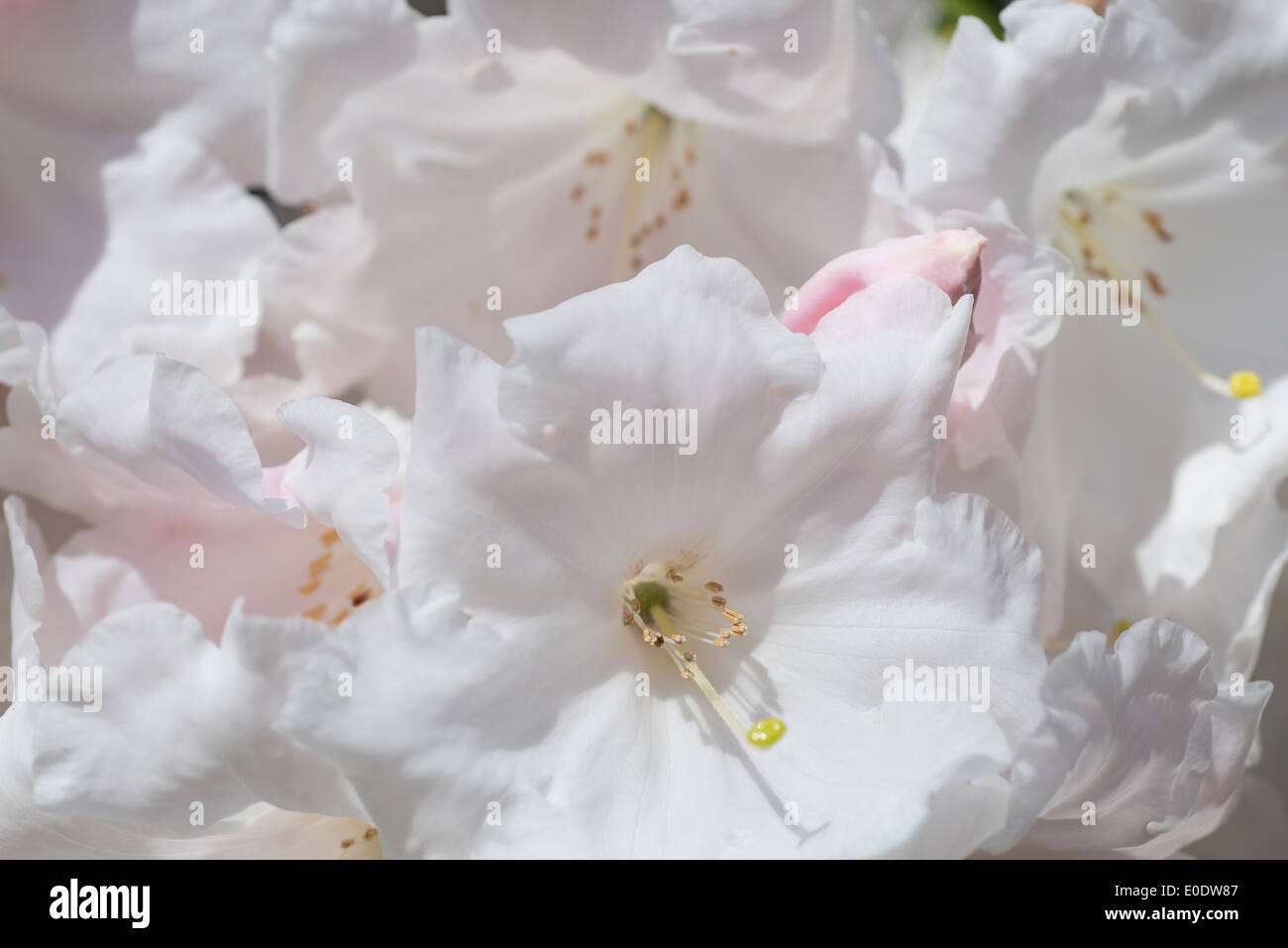 Rhododendron 'Loderi pink diamond' - Stock Image