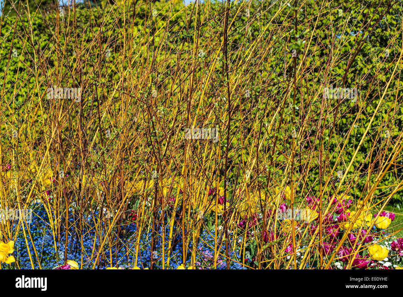 Flaming winter willows - Stock Image