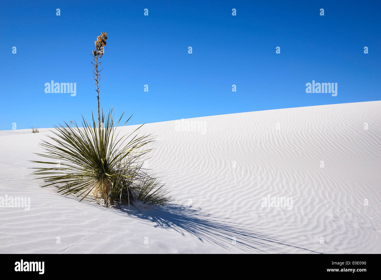 Yucca on sand dune, White Sands National Monument, New Mexico. - Stock Image