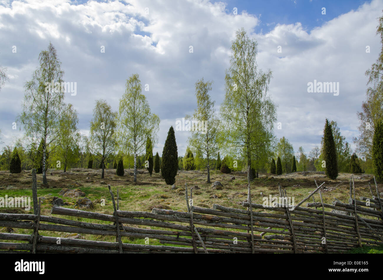 Old pastureland with birches and junipers at springtime - Stock Image