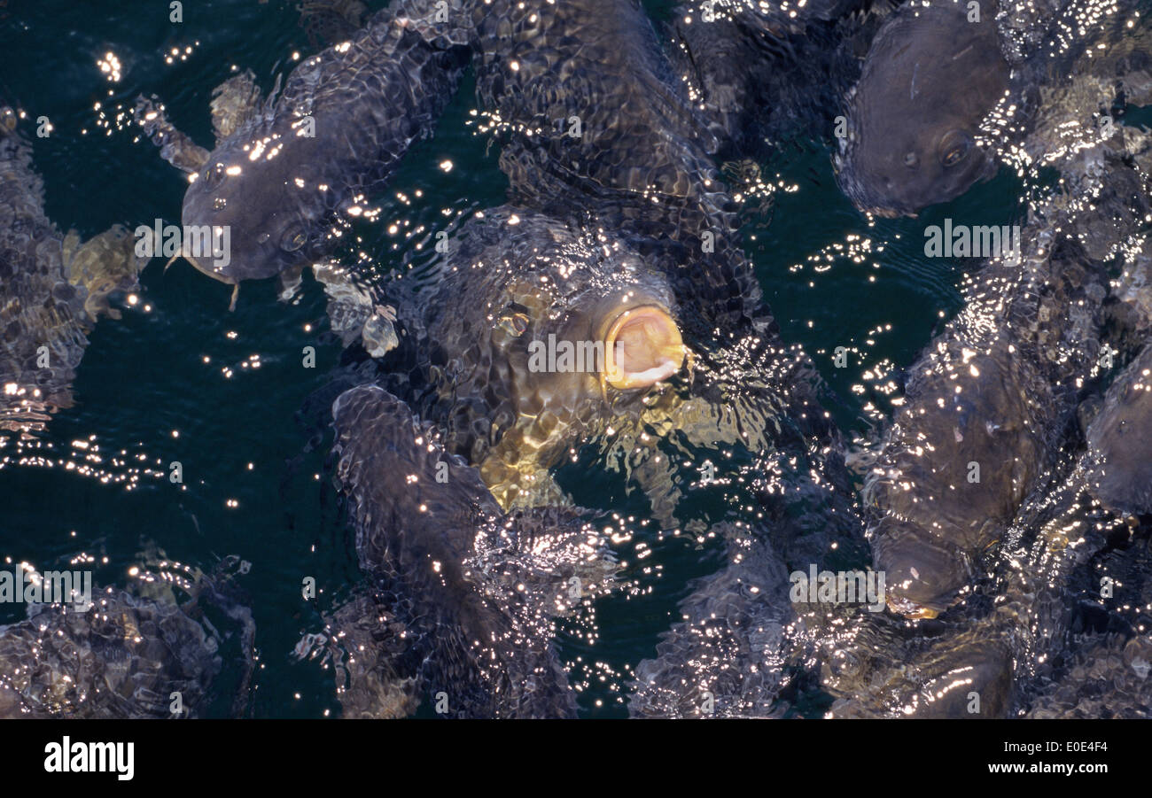 One of a school of carp fish pokes its mouth from the sun-dappled water for a breath of fresh air at Lake Mead, Stock Photo
