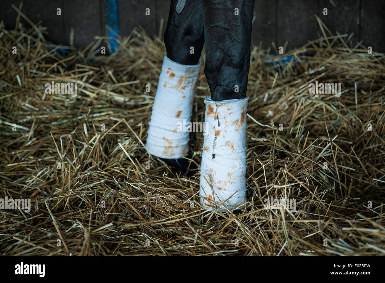 Bandaged legs of a thoroughbred race horse. - Stock Image
