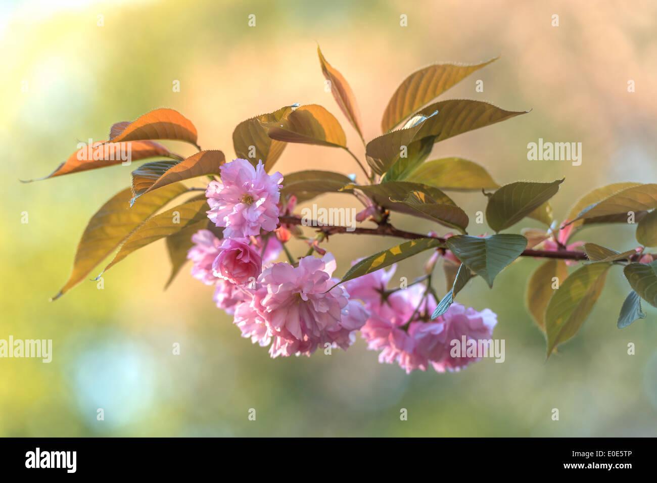 beauty sakura twig close up - Stock Image
