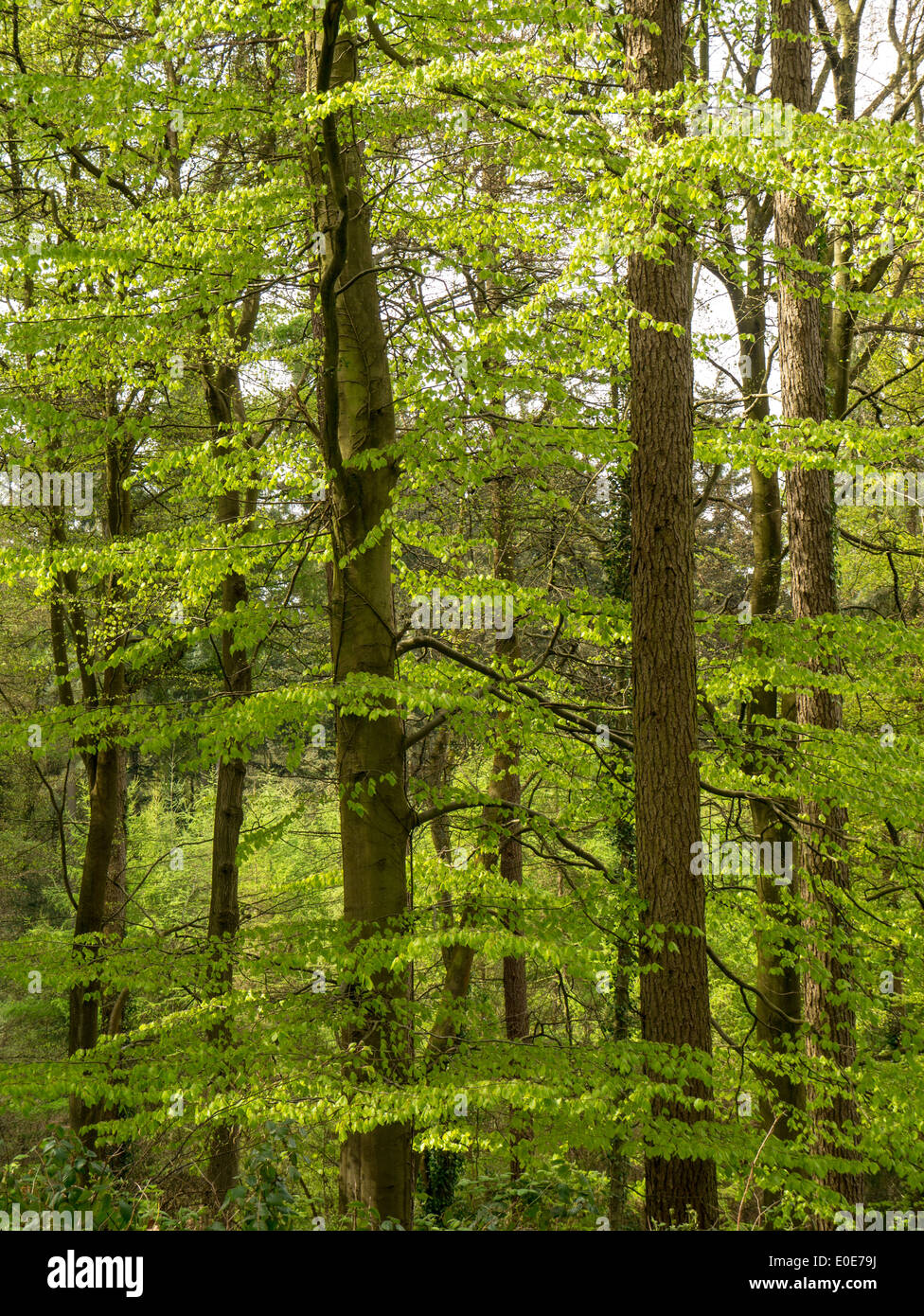 Spring growth in woodland in the Forest of Dean, near Coleford, UK - Stock Image