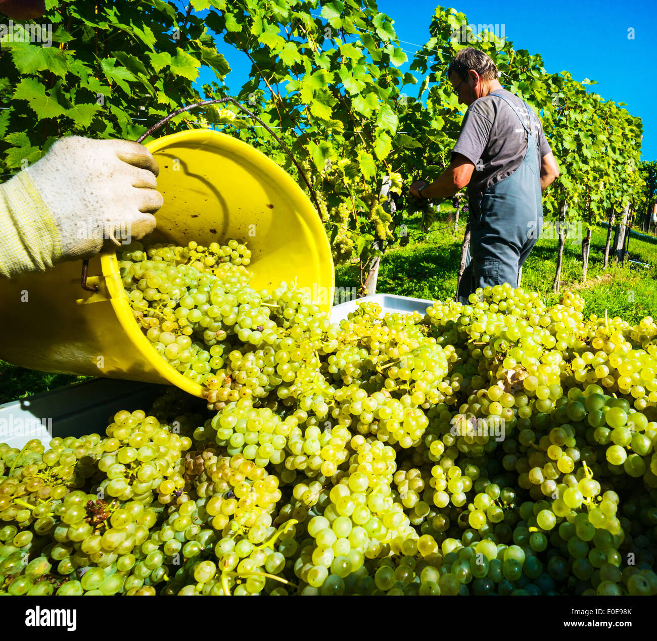 Vintage in autumn in in the vineyard of a winegrower. Maturity bunches of grapes in the vineyard wait for the vintage., Weinlese Stock Photo