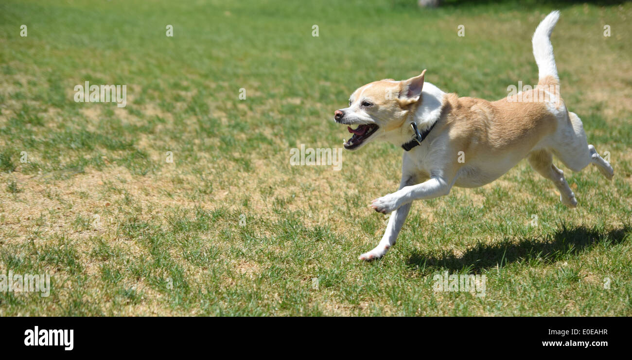 A playful small dog running in the park - Stock Image