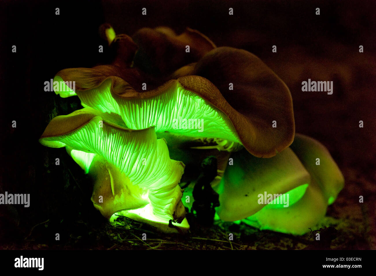 The  Australian Ghost fungus (Omphalotus nidiformis) is a luminous mushroom which glows in the dark - Stock Image
