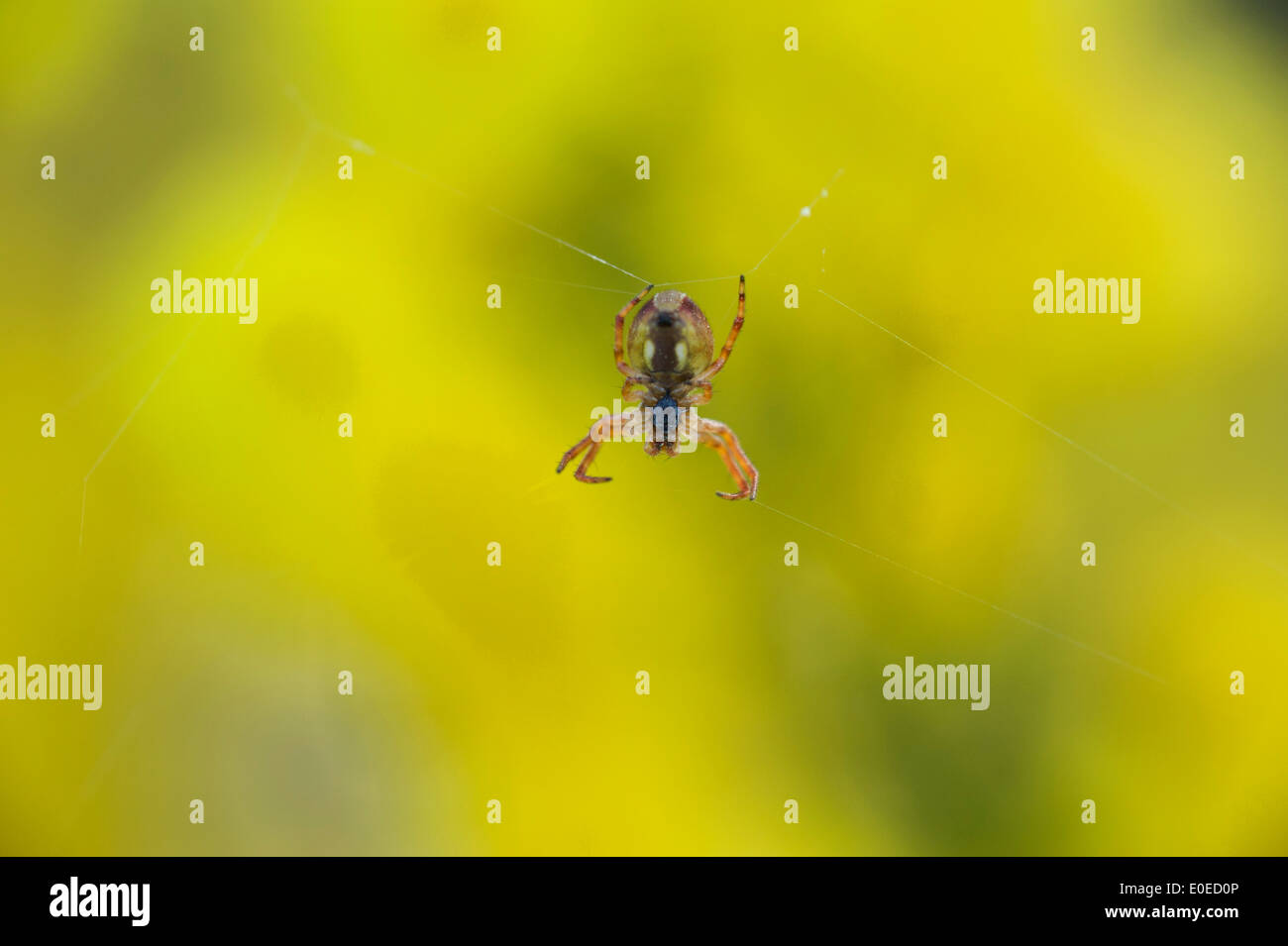 Spider on web set against out of focus yellow wattle flowers - Stock Image
