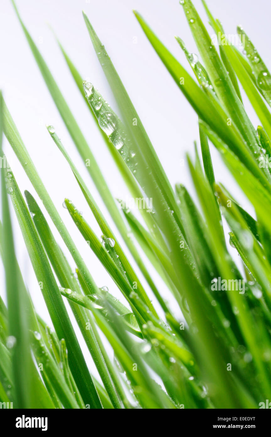 Wheatgrass with water droplets - Stock Image