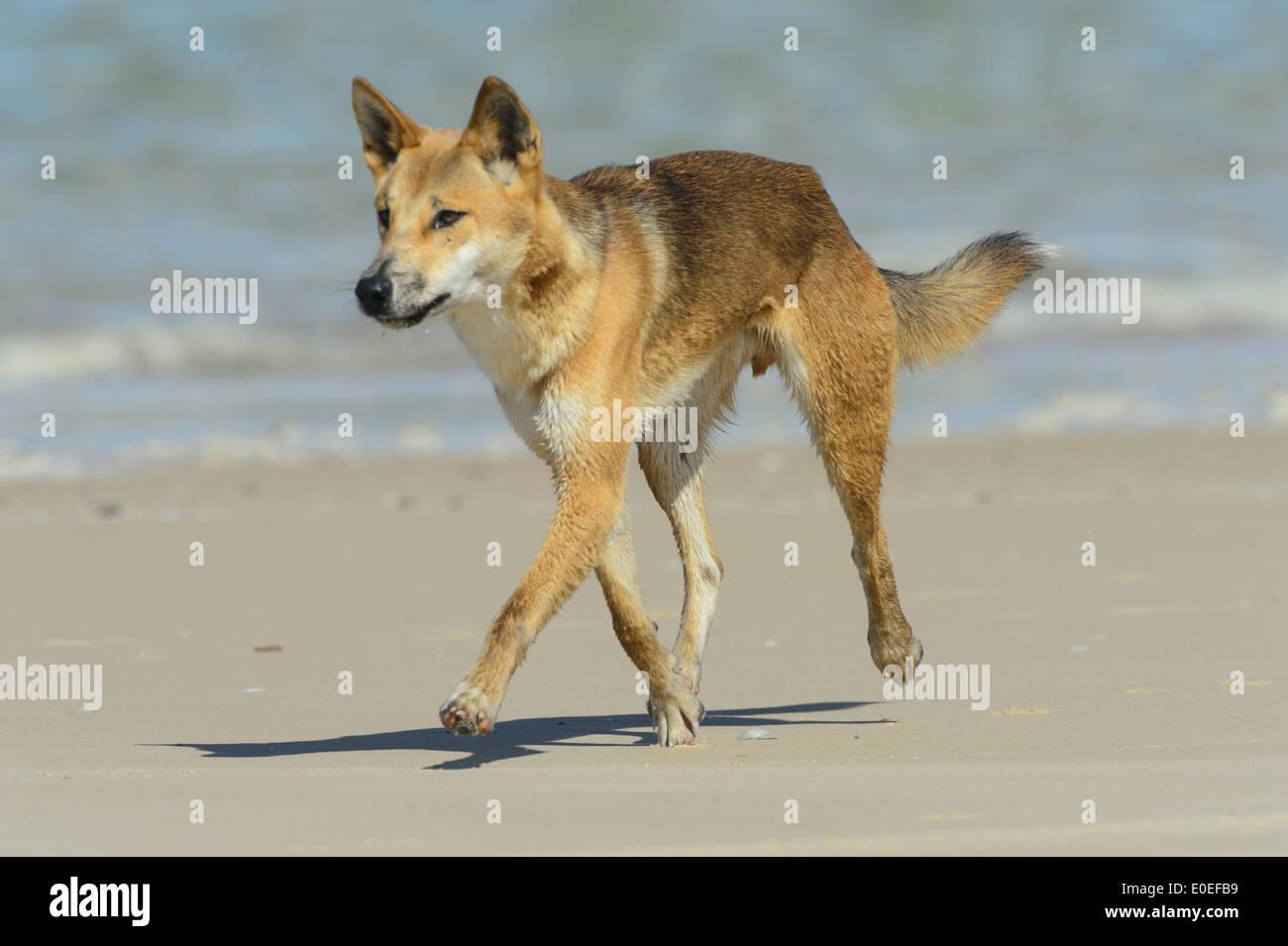 Dingo (Canis lupus dingo), Fraser Island, Queensland, QLD, Australia - Stock Image